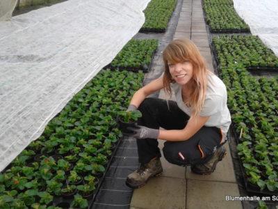 Pflanzenproduktion in der Gärtnerei für unsere Blumenhalle