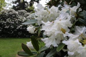 große weiße Blüten von der Alpenrose
