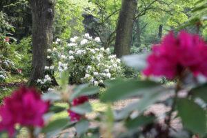 Roter und weißer Rhododendron