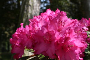 Rotblühender Rhododendron