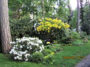 Rhododendron Südfriedhof