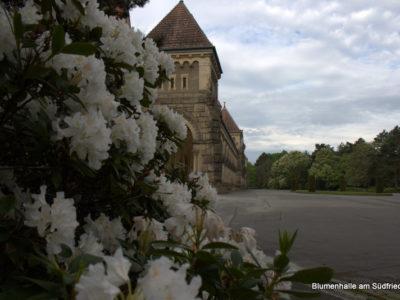 Rhododendronblüte auf dem Südfriedhof Leipzig