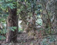Rhododendron Trockenheit 2018