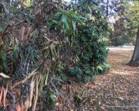 Das Jahr der vertrockneten Rhododendron