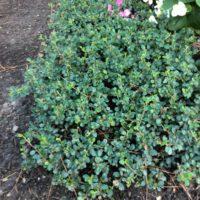 Unsere Pflanzen zur Grabgestaltung - Die Bodendecker