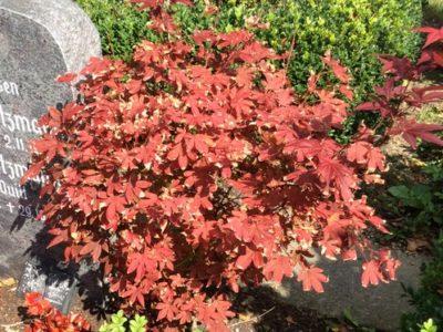 Unsere Pflanzen zur Grabgestaltung – Die Rahmengehölze