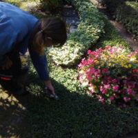 Schneiden der Bodendecker mit Rosenschere