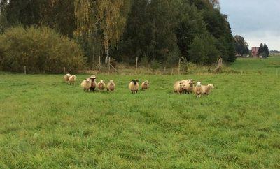 Schafe auf Wiese