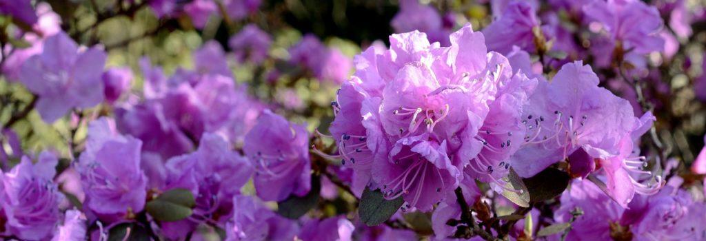 Blumenhalle am Südfriedhof - Rhododendron